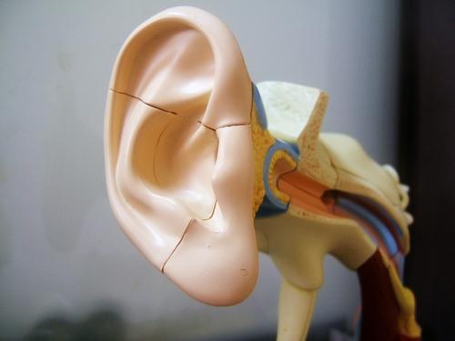 model of the ear
