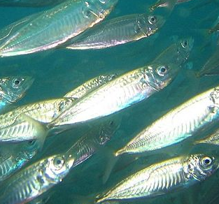 Mackerel - an oily fish